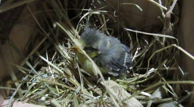Blaumeise www.wildvogel-rettung.de
