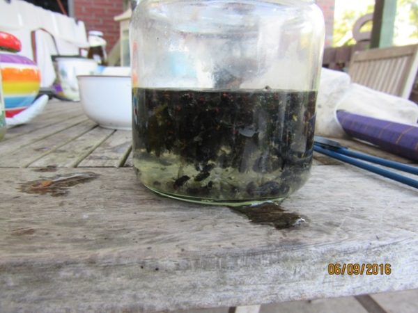 """in einem Glas mt frischem Wasser lassen sich die frisch gefangenen Fliegen """"sammeln"""" - dies ist die Ausbeute von 5 Minuten Kecherjagd in einem Kälberstall"""