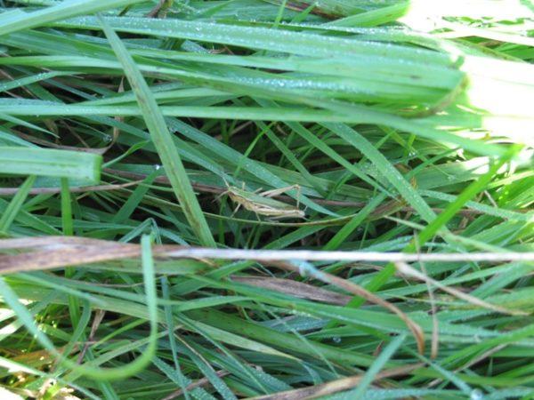 Grashüpfer dürfen nur abgetötet und mit entfernten Sprungbeinen verfüttert werden