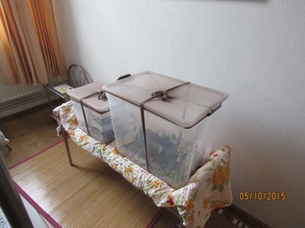 Heimchen kann man gut in großen Plastikboxen auffüttern.....