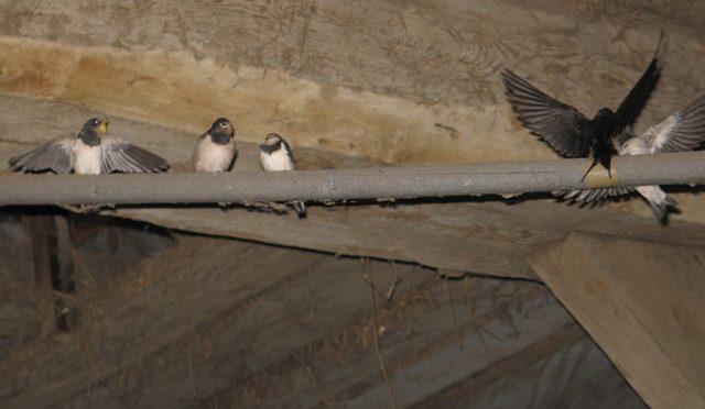 Rauchschwalbe www.wildvogel-rettung.de