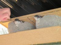 Mehlschwalbe www.wildvogel-rettung.de