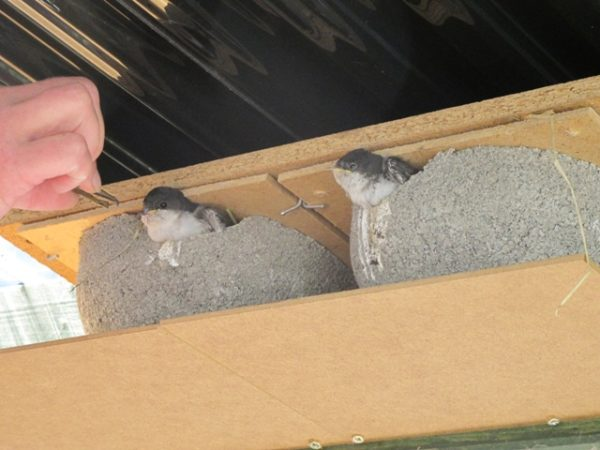 die Mehlschwalben haben ihre Nester tagsüber draußen unter dem Sitzeckendach mit freier Sicht in die Umgebung
