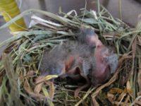 Bachstelze www.wildvogel-rettung.de