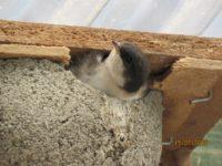 Diese kleine Mehlschwalbe überlegt schon, ob man es nicht mal probieren könnte - sie wird noch am selben Tag ausfliegen