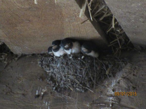 Im Nest verbaute Pferdehaare und Angelsehnen können zur Todesfalle werden, wenn sie nicht abgeschnitten werden.