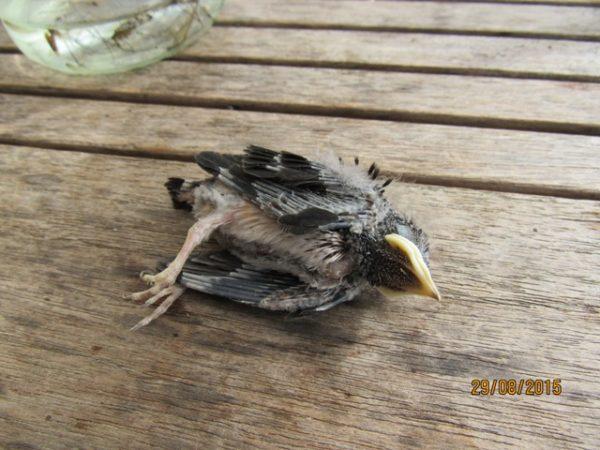 ...der Kleine lag tot im Nest - von Milben übersäät.