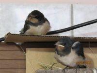 die Zwei haben gerade ihre ersten Flugversuche hinter sich und waren erleichtert, als sie es geschafft hatten wieder in bzw. auf ihrem nest zu landen