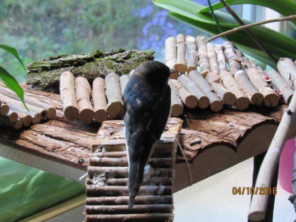 Willi wurde zu Katzenopfer und verlor seine Schwungfedern. Nun ist er bis die Federn nachgewachsen sind, flugunfähig und braucht Kletterhilfen, um sich fortbewegen zu können