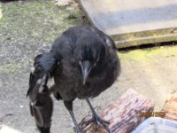 Junge Rabenkrähe mit schwer verletztem Flügel - eindeutig hilfsbedürftig