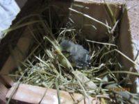 Blaumeisenküken geringgradig zu schwach befiedert - wurde nicht von den Eltern versorgt - hilfsbedürftig