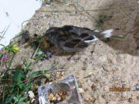 Spatz Claudi hatte gefiedrschäden und musste seine Mauser abwarten, bevor er wieder fliegen konnte. Sandbad, täglich frische Wildkräuter und Wildgräser und....