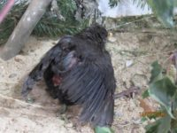 Drossel - verletzt (Katzenopfer) - sofort Tierarzt