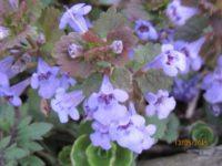 Gundermannblüte
