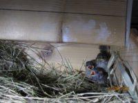 Haussperlinge www.wildvogel-rettung.de