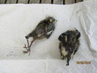 Am Meisenkasten wurde das Betteln der Küken trotz bestem Jagdwetter immer stiller und die Eltern gingen kaum noch ans Nest. Diese 2 Leichen haben wir aus dem Nistkasten geholt.......