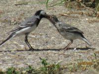 Bachstelze - Küken hat kurz zuvor das Nest verlassen - kann noch nicht fliegen - wird es in den nächsten Stunden lernen - wird gefüttert - nicht hilfsbedürftig