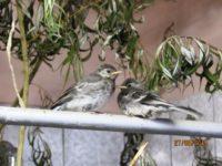 Bachstelzen www.wildvogel-rettung.de