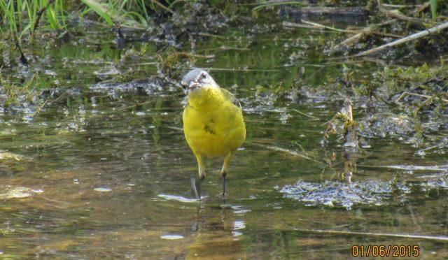 Schafstelze www.wildvogel-rettung.de