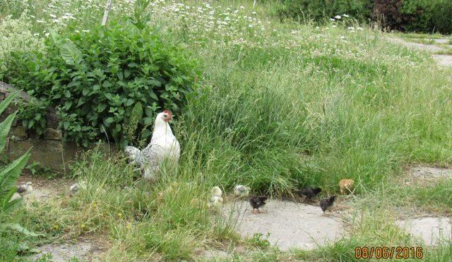 Vogelgrippe – Geflügelpest